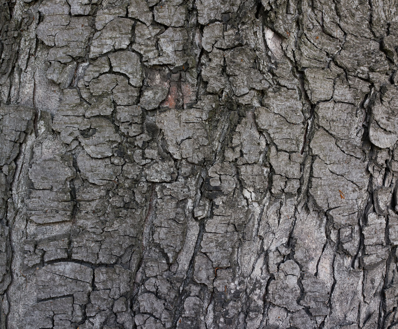 wildtextures_grey-tree-kůry